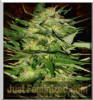 Advanced Auto Skunk Mass Feminised 1 Ganja Seed